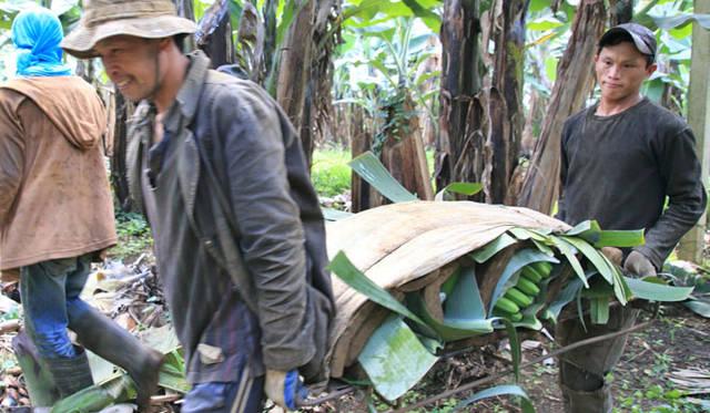<strong>unifrutti|ユニフルーティー</strong><br />「地球育ち しあわせバナナ&reg;」<br />日本に輸入される全ての海外産バナナは、植物防疫法により、果皮が緑色の状態でしか輸入できないという決まりがある。
