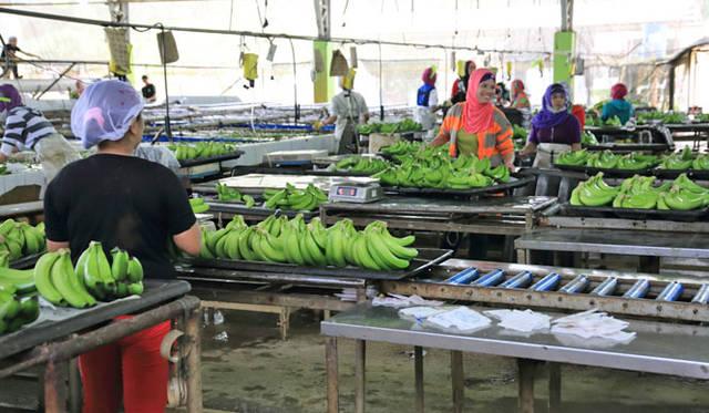 <strong>unifrutti|ユニフルーティー</strong><br />「地球育ち しあわせバナナ&reg;」<br />現地の選果場にて丁寧に選別・水洗いされる。