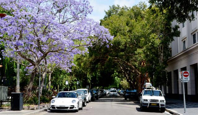 <br> 南半球の桜と言われることもあるジャカランダ。紫の花が美しい。見頃は春の11月。ダブルベイで