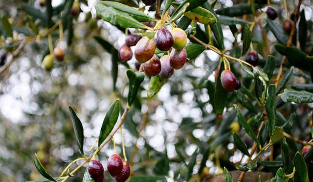 ビクトリア州は、オーストラリアのなかでもワインツーリズムが盛んな場所のひとつ。オリーブやイチゴなど食材も豊か