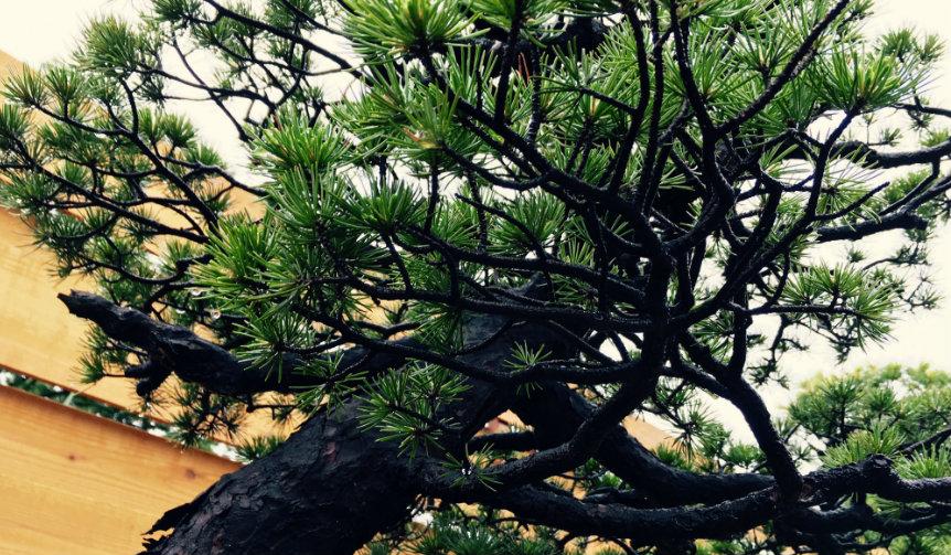 hirao-bonsai_001