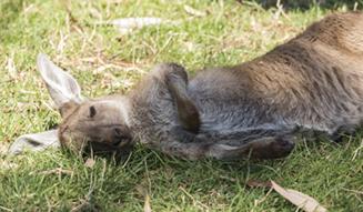 Kangaroo, Adelaide Hills, SA