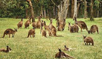 Kangaroo at Cleland Wildlife Park, Adelaide Hills, SA