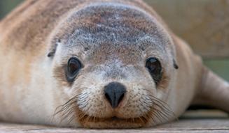 Sealion, Kangaroo Island, SA