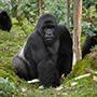 gorilla_9090_b