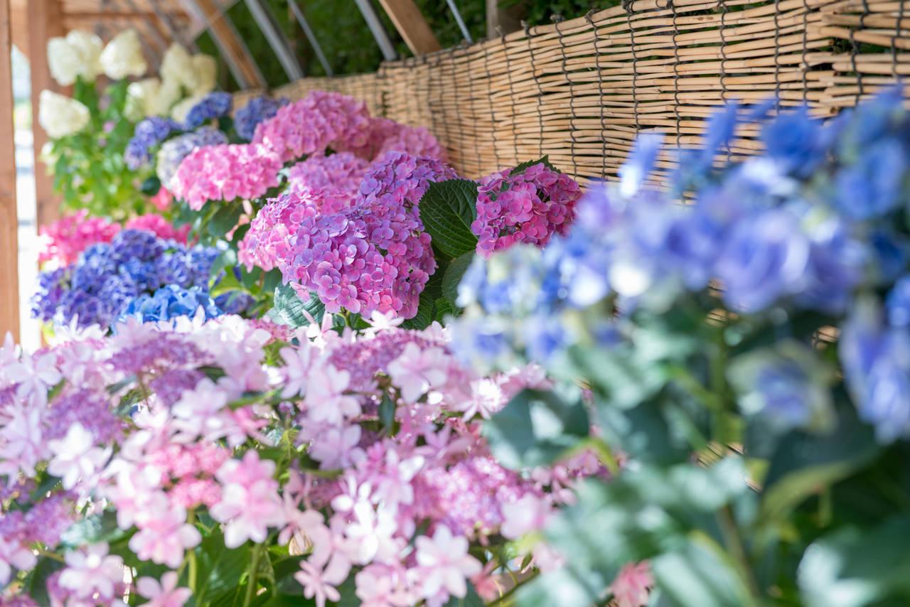 紫陽花。照片提供/長島渡假村