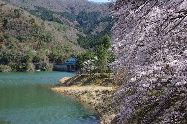 起伏のある公園内に満開時にはおよそ1,000本の桜が咲き誇る大野ダム公園。4月上旬には大野ダムさくら祭りを開催しています。