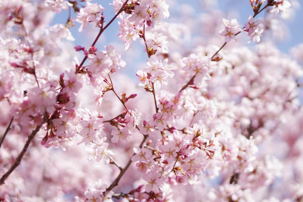 一度は行きたい!岐阜のお花見名所8選!飛騨・中濃・東濃・西濃エリア別