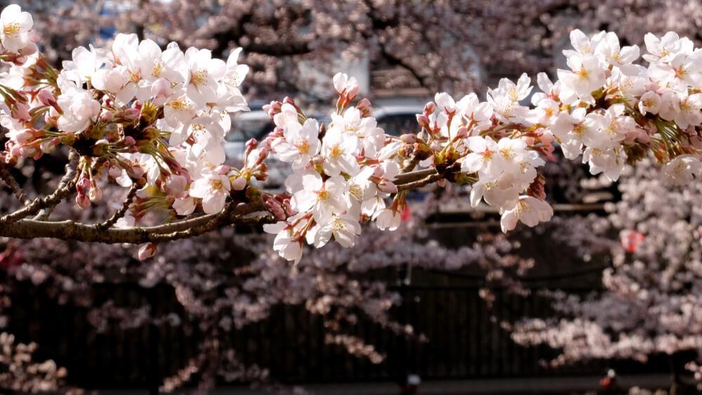 神戸のおすすめ桜スポット8選!名所から穴場まで