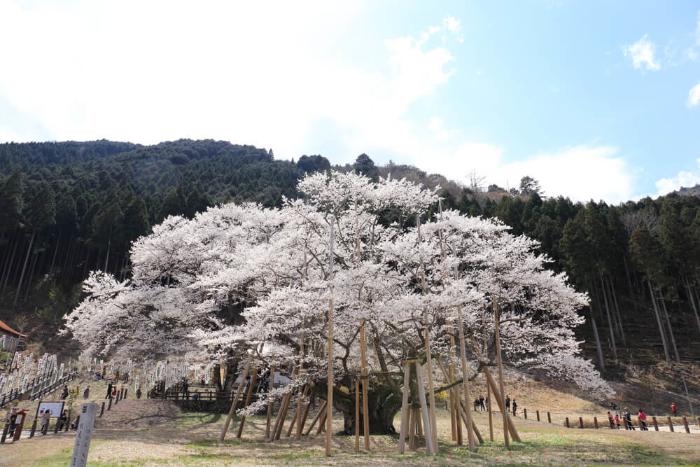 名所 岐阜 桜