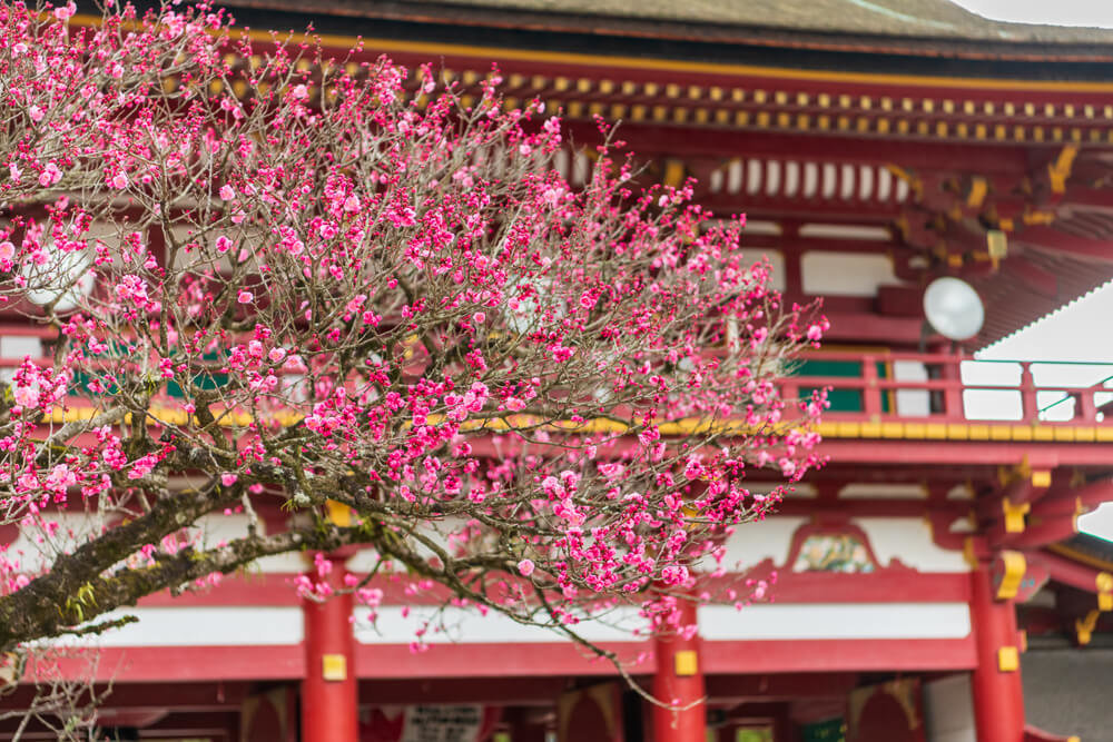 太宰府天満宮 桜