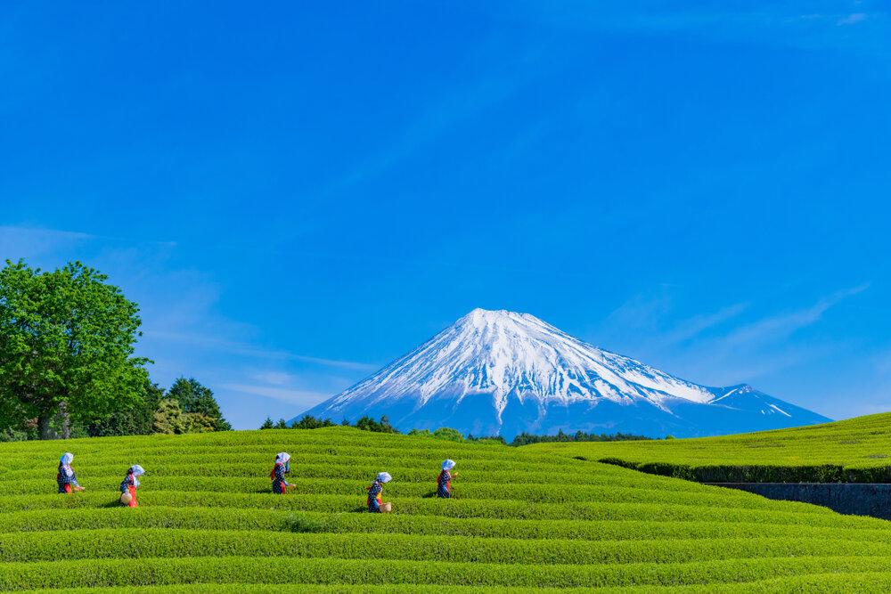 富士山を望む茶畑