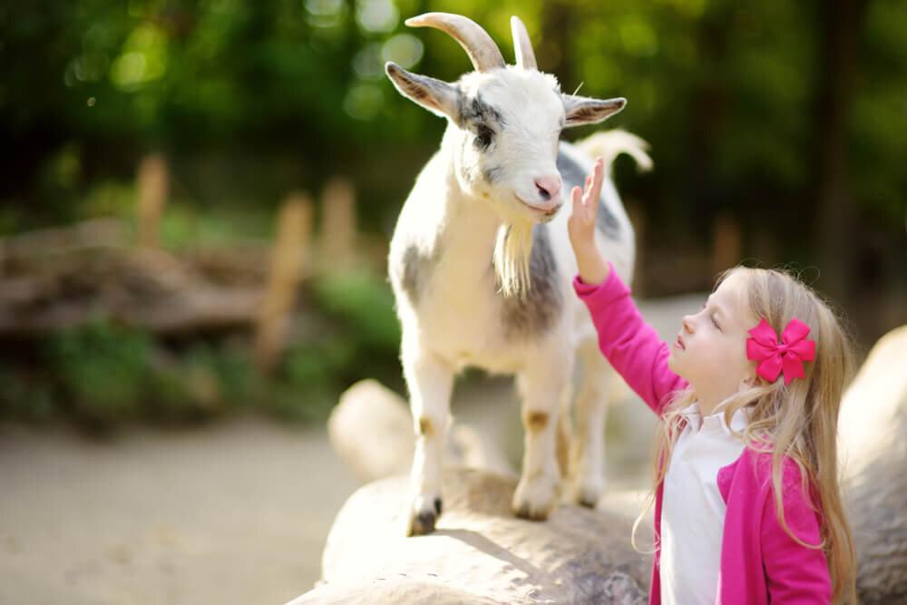 ヤギに触れる少女