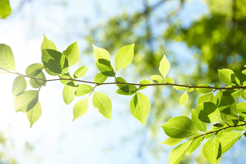 明るいグリーンが印象的な新緑の葉