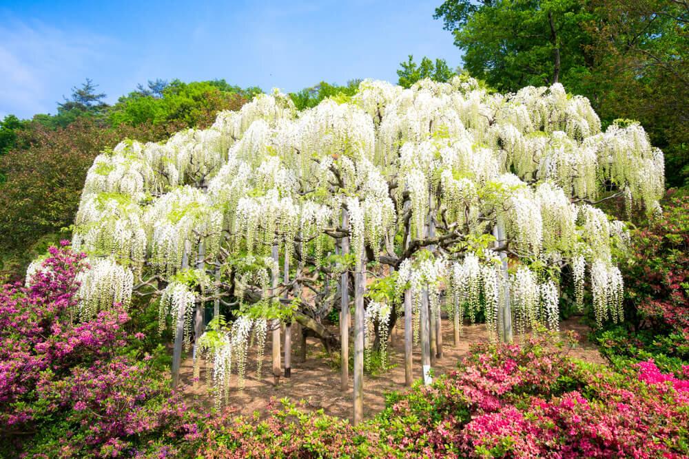 あしかがフラワーパークの美しい藤の花