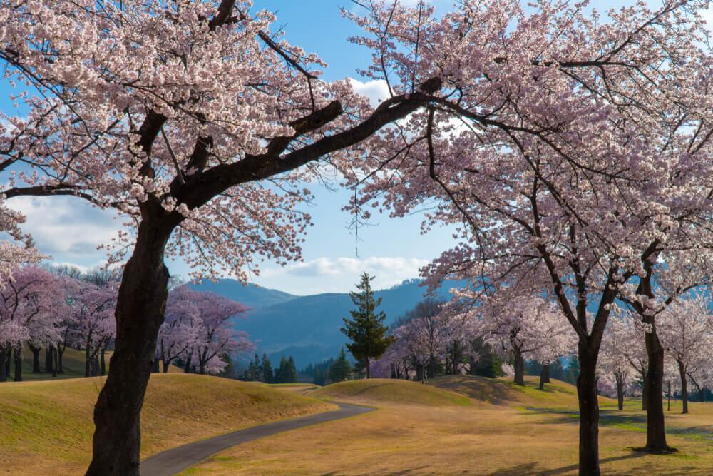 桜の木があるゴルフ場