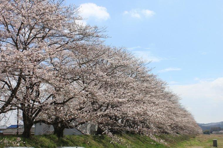 宮の桜堤 – 栃木市観光協会