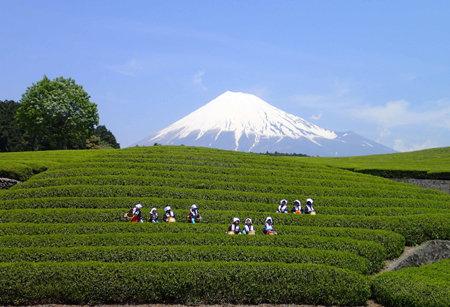 大淵笹場(富士山と茶畑の眺望スポット)について | 静岡県富士市