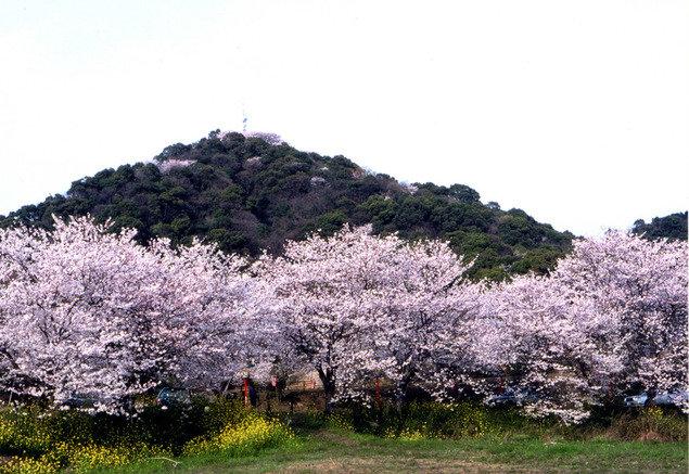 日の隈公園の桜(佐賀県)|ウォーカープラス