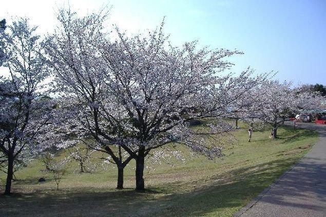 鏡山の桜(佐賀県)|ウォーカープラス