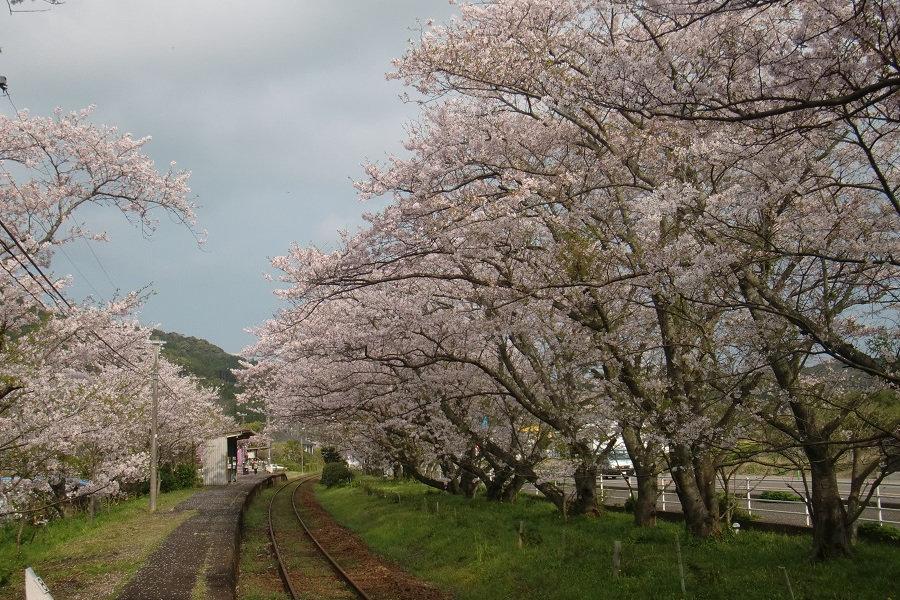 桜の駅まつり | たびらい