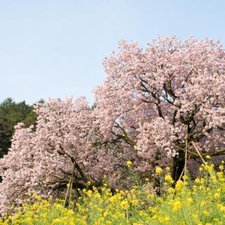 納戸料の百年桜| 嬉野温泉観光協会うれしの温泉のほほーん情報局