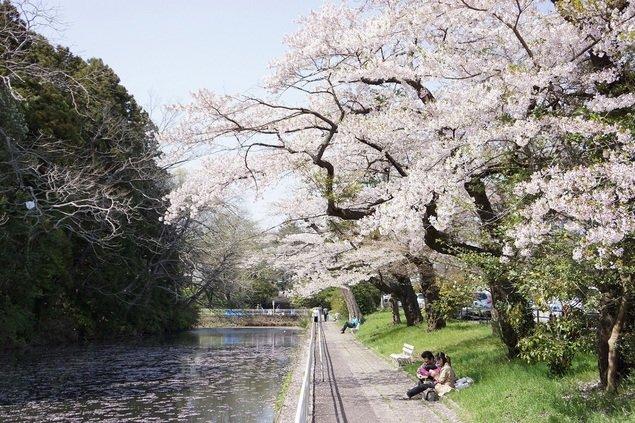 青葉山公園(仙台城跡)の桜(宮城県)|桜名所 お花見特集2020 - ウォーカープラス