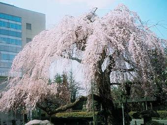 若林区役所周辺|仙台市 緑の名所 100選
