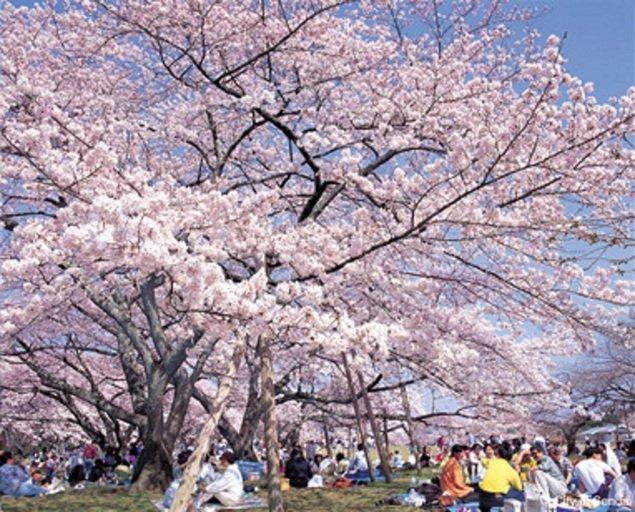 三神峯公園の桜(宮城県)|桜名所 お花見特集2020 - ウォーカープラス