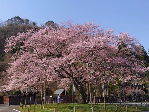 天守閣自然公園のエドヒガンザクラ – 里センタースタッフブログ