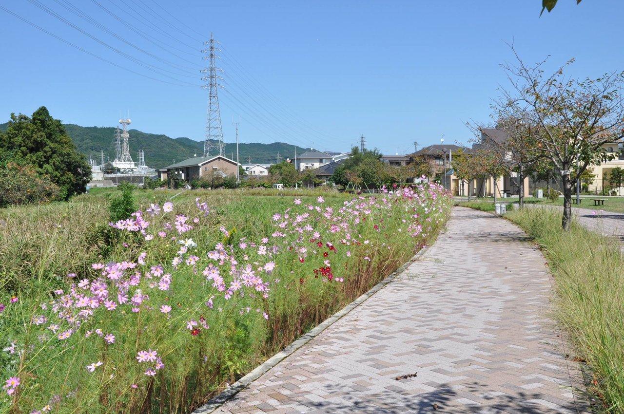 佐賀県鳥栖市 - お散歩はコスモスロードへ【商工振興課】 安良川沿いにあるコスモスロードにコスモスが咲きました。... | Facebook
