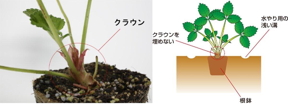 イチゴ栽培,苗の植え付け