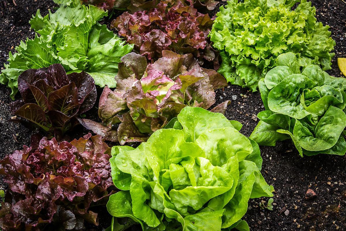 趣味,家庭菜園,野菜,リーフレタス,ベランダガーデニング,家men