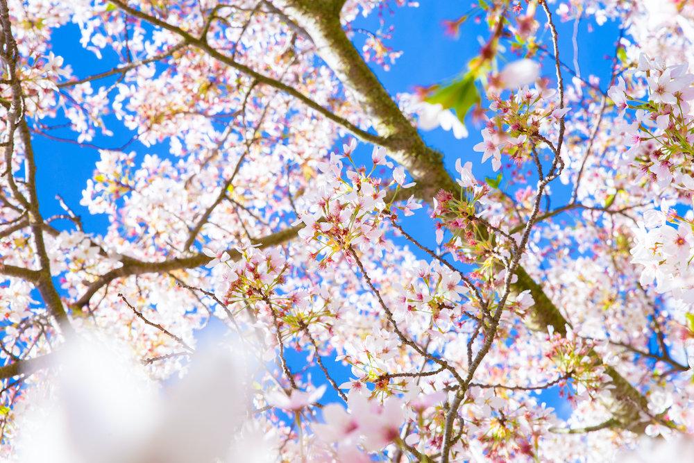 青空に満開の花を咲かせる桜