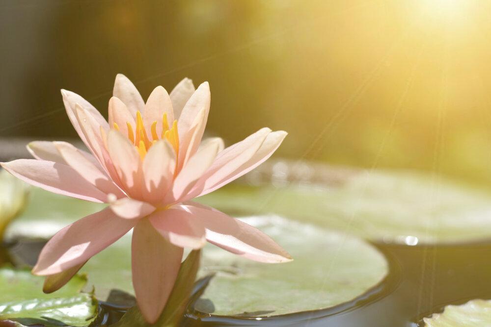 陽が当たる蓮の花
