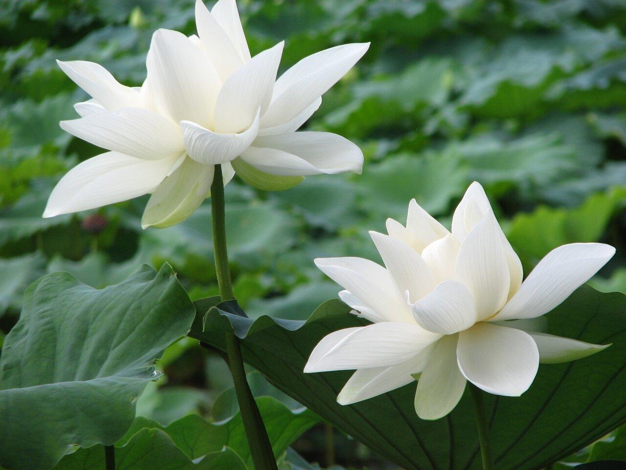 2つ並んだ白い蓮の花