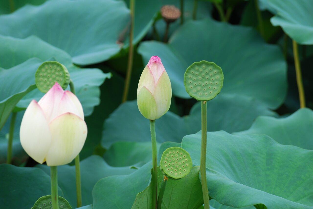 ピンクと白の蓮の花