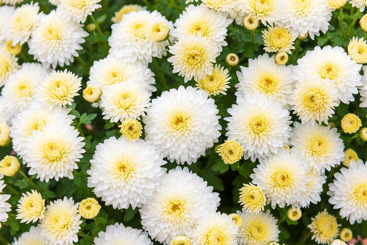 白い丸菊の祭壇飾り