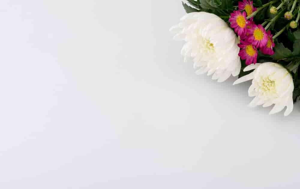 白い背景に飾られた菊の花