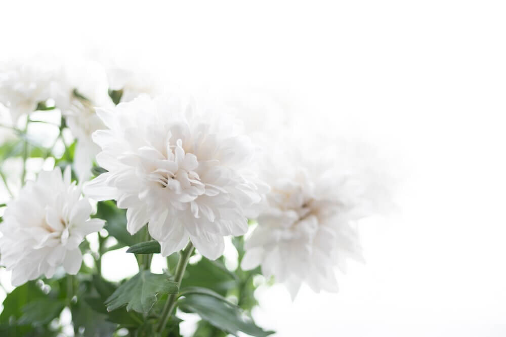 白い背景の中にある菊