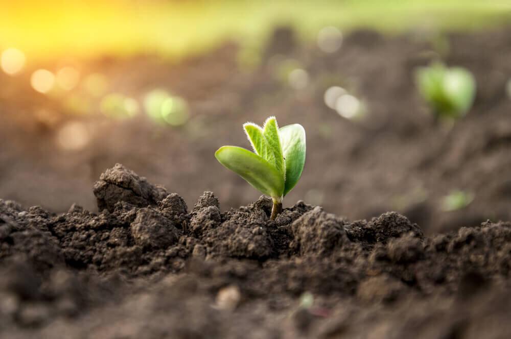 土から生えてきた芽