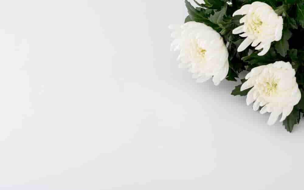 白い背景に置かれた白菊