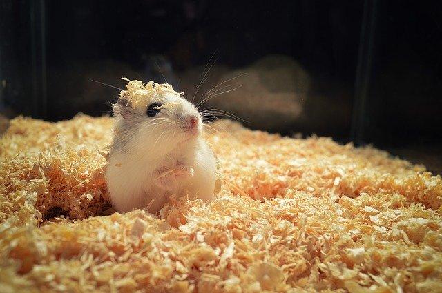 小さくて愛くるしい!初めてのハムスター飼育で気を付けたいこととは?