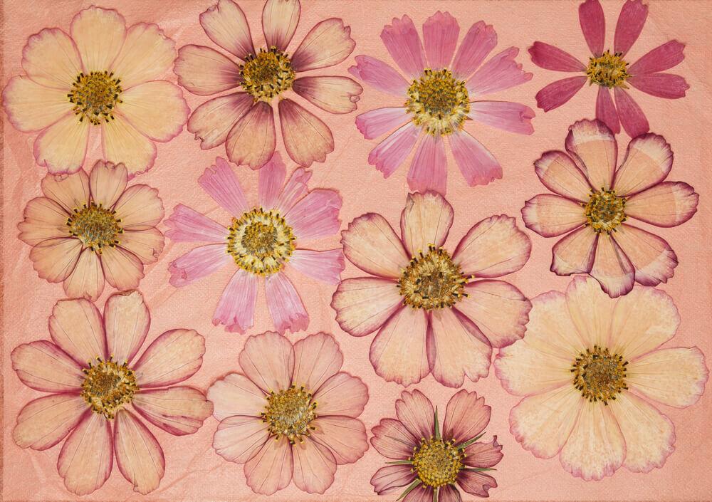 コスモスの押し花