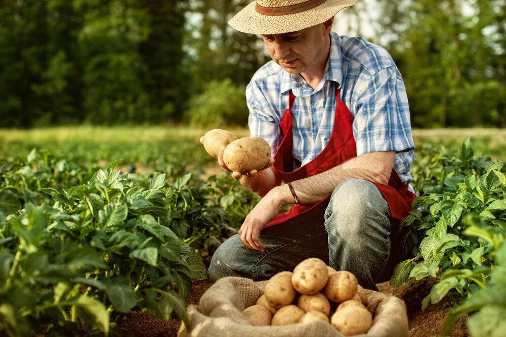 ジャガイモを収穫する生産者