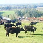 私たちがふだん食べる牛肉は、 99%牧草牛ではない。それって、なにが問題?