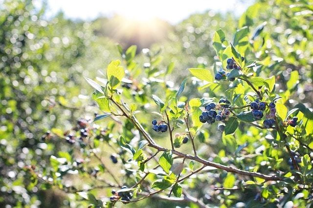 Free photo: Blueberries, Bush, Nature - Free Image on Pixabay - 1576403 (90)