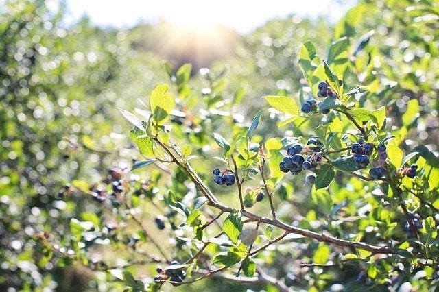 Free photo: Blueberries, Bush, Nature - Free Image on Pixabay - 1576403 (90)