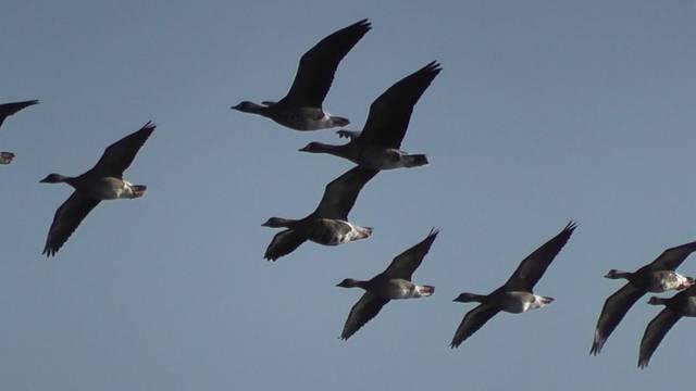 ウトナイ湖の渡り鳥たち (画像提供、ウトナイ湖野生鳥獣...