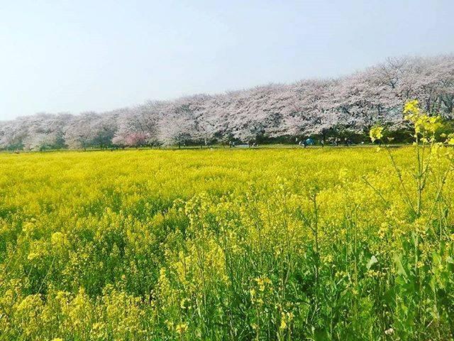 ゆうさんはInstagramを利用しています:「2017・春【権現堂公園】#日本 #japan #nippon #埼玉 #saitama #幸手 #satte #権現堂 #桜まつり #桜 #sakura #cherryblossom #菜の花 #ピンク #pink #黄色 #yellow」 (54253)